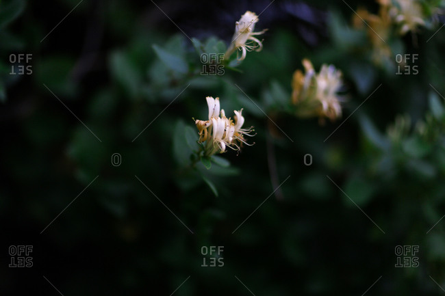 Close up of a honeysuckle bush in bloom