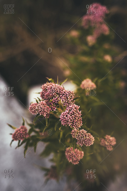 Delicate mini pink flower buds