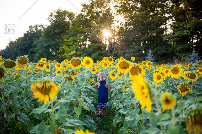 Young girl wandering through a sunflower field at dusk