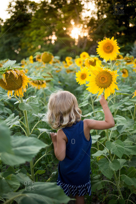 Back view of young girl exploring a sunflower field at dusk