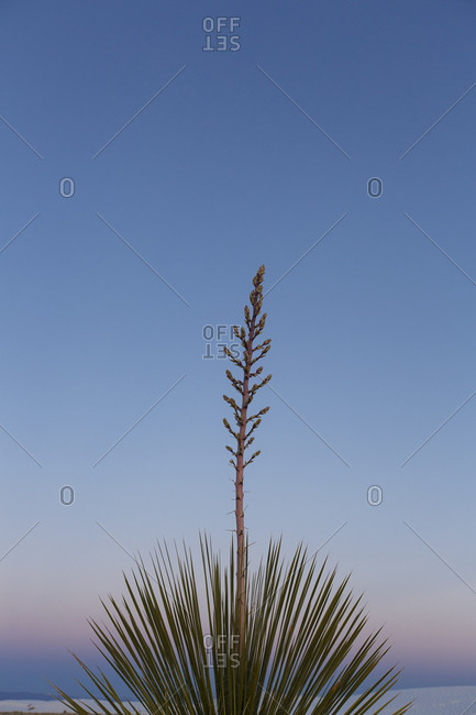 Close up of a yucca plant in White Sands, New Mexico