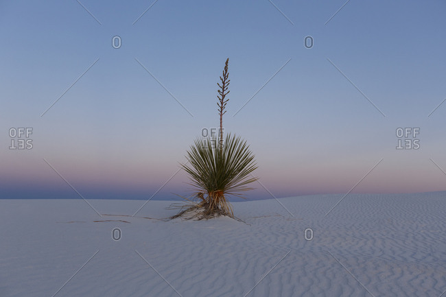 Yucca plant in White Sands, New Mexico