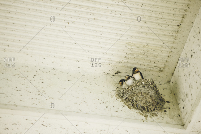 Nest with three swallows on a wall, Japan