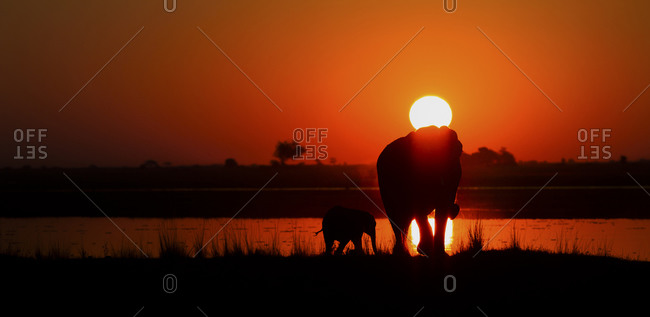 Elephant with young animal on Chobe river at sunset, Botswana