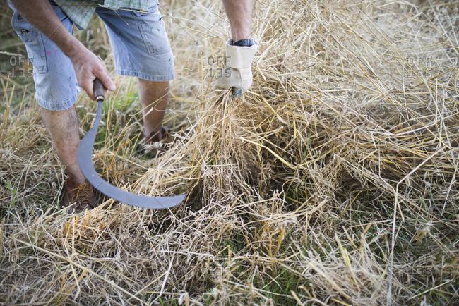 Farmer cutting dry grass with scythe