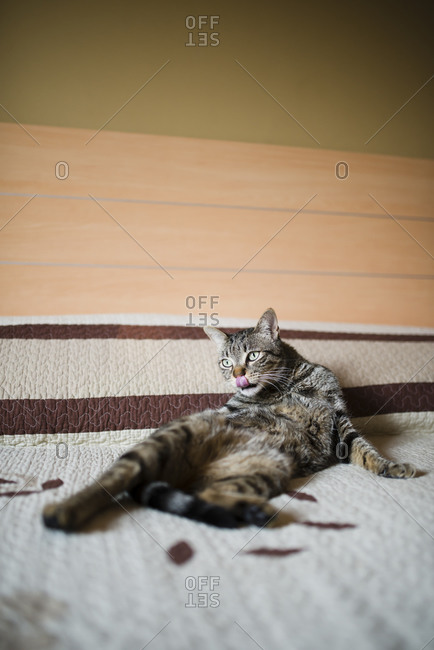 Tabby cat lying on bed licking snout