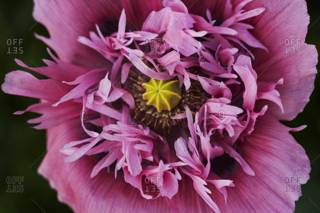 Pink poppy, close-up