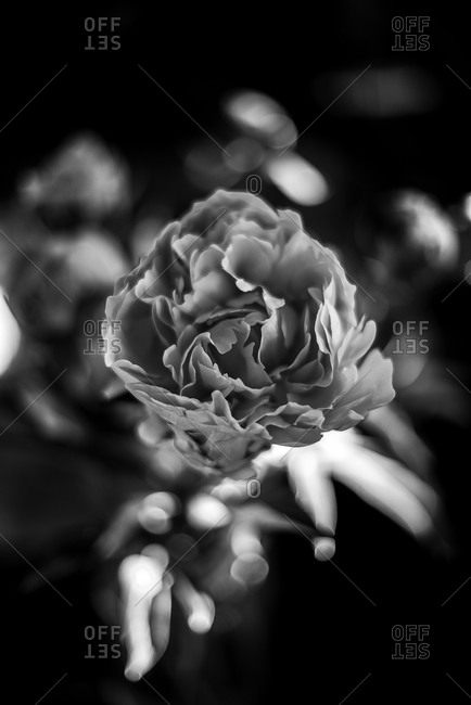 Close up of flower petals in black and white