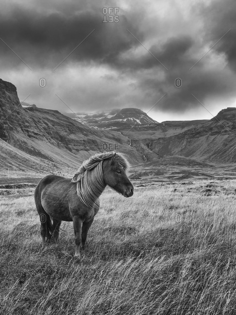 Wild horse in Snaefellsnes, Iceland