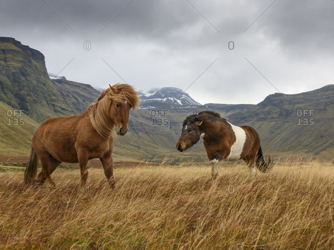 Two wild horses in Snaefellsnes, Iceland