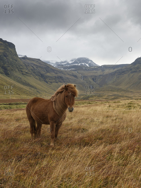 Wild horse in a valley in Snaefellsnes, Iceland