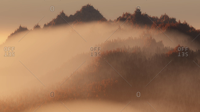 Pine trees on a misty mountain