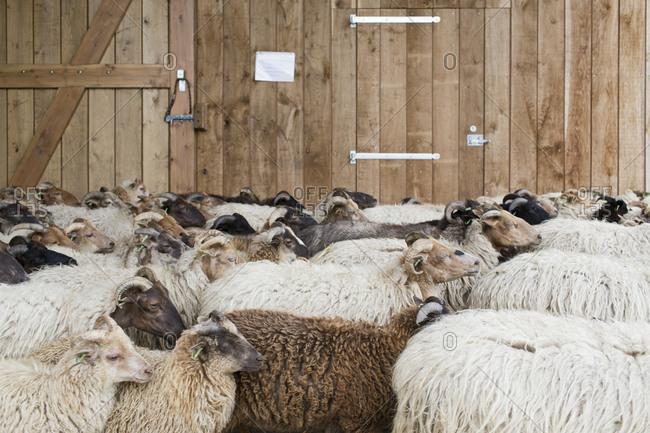 A herd of sheep in Drenthe, Netherlands