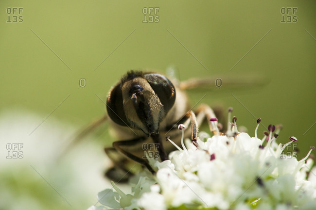 A hoverfly lands on a flower