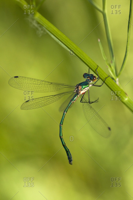 An Emerald Damselfly spreads its wings on a reed