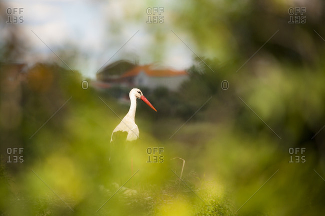 A white stork resting in the bushes