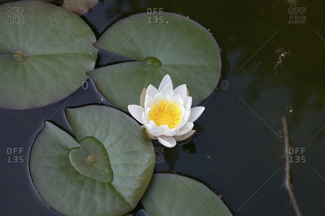 A white lotus in a pond