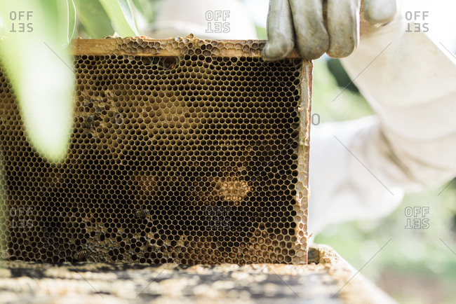 Frame of honeycomb being removed from a hive by a beekeeper