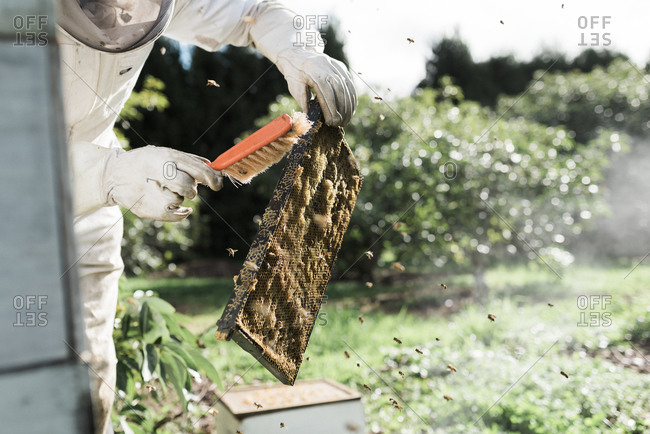 Bees flying around a beekeeper as he brushes a frame