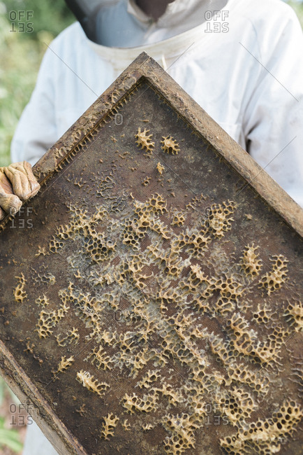 Beekeeper holding a frame with remnants of honeycomb attached