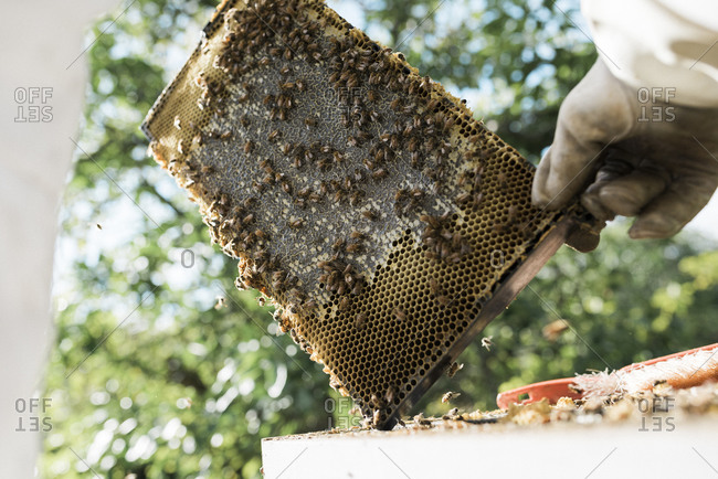 Honeycomb covered in bees being held by a beekeeper