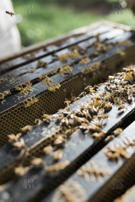 Bees crawling on frames at the top of a beehive