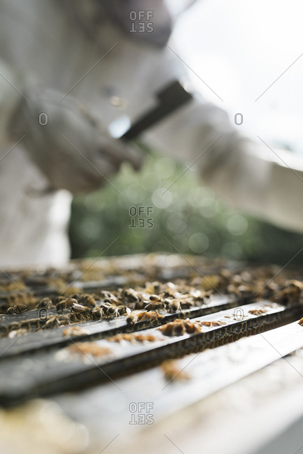 Honey bees on top of a hive being worked on by a beekeeper