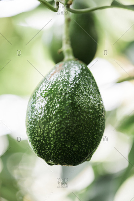 Green avocado hanging from a branch