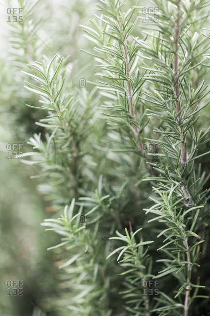 Sprigs of rosemary on a bush