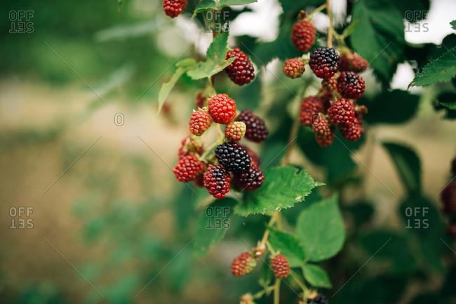 Blackberries ripening on a bush