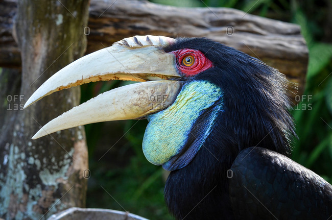 Close-up of a  bar-pouched wreathed hornbill in Bali, Indonesia