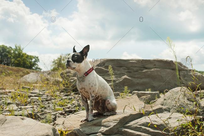 Boston terrier sitting on a rock