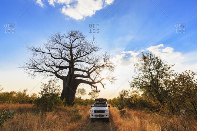 Off-road vehicle parking under a baobab