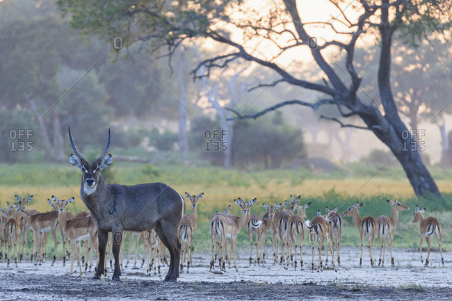 Water goat and herd of impalas