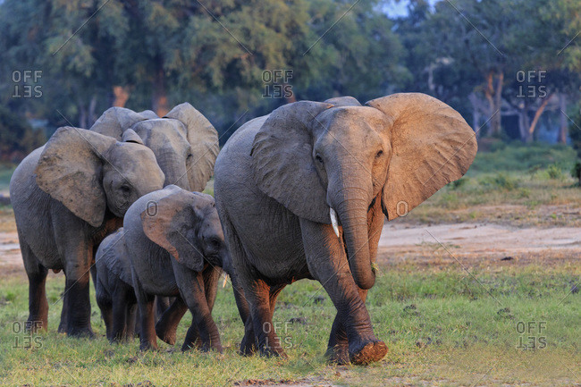 Herd of elephants with young animals