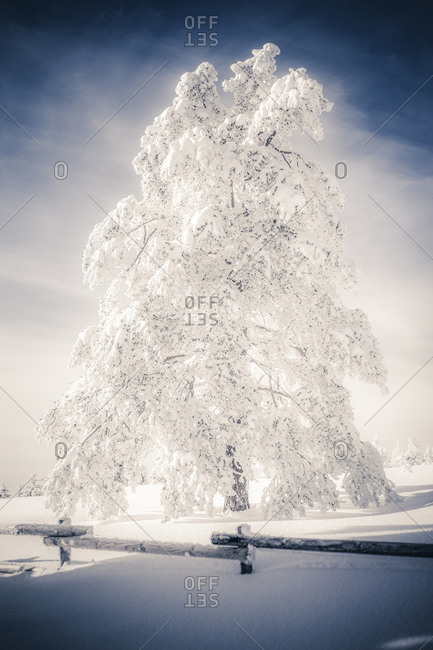 Snow-covered tree and fence