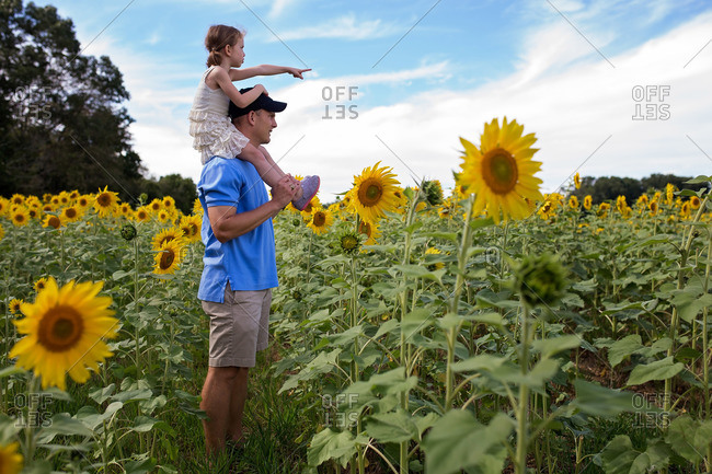 Girl on dad's shoulders in sunflower field