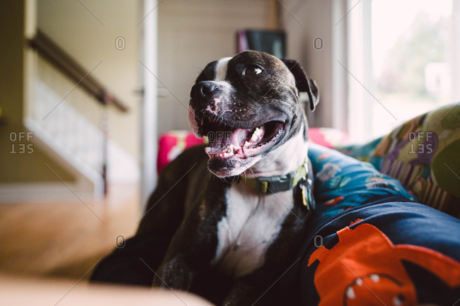 A pit bull sits on a couch panting