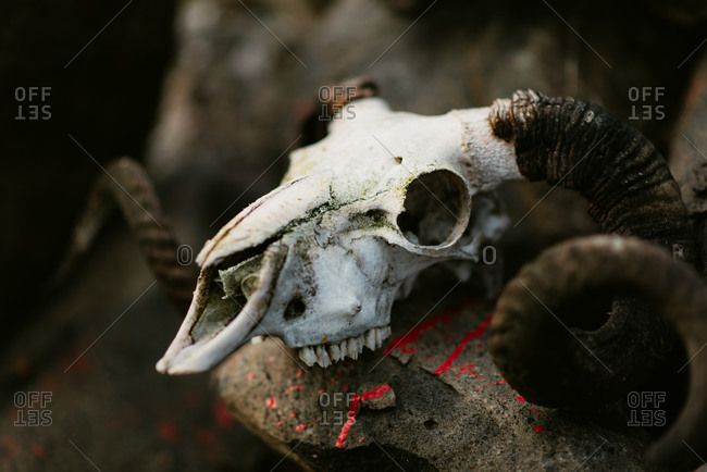 how to clean up animal skulls
