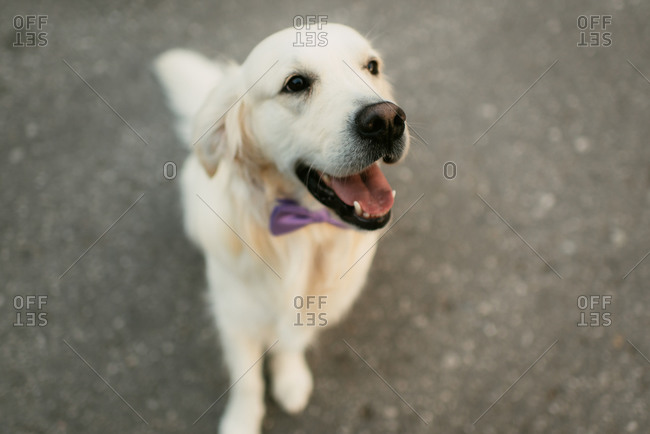 Happy dog wearing a bow tie
