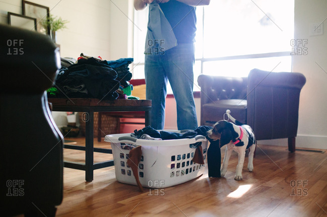 Man folding laundry while playful puppy attempts to steal clean clothes