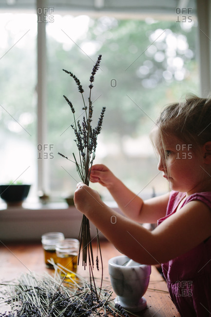Young girl gathering stems of dried lavender to make scented oil at kitchen table