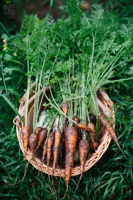 Basket of fresh carrots from the garden