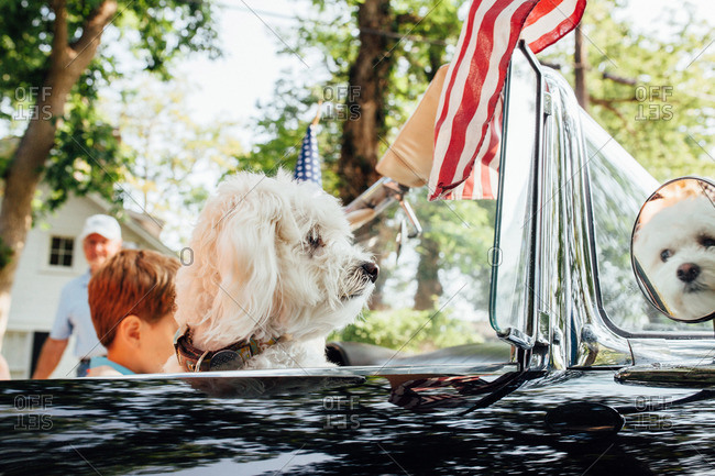 Dog riding in convertible car in Independence Day parade