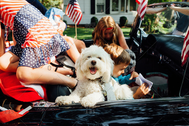 Happy white dog riding with people in a convertible car decorated for Independence Day