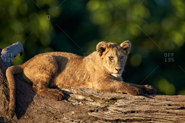 Lion (Panthera leo) cub on a downed tree trunk, Ngorongoro Crater, Tanzania