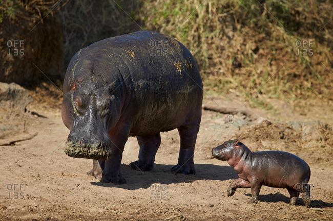 Hippopotamus (Hippopotamus amphibius) mother and baby out of the water, Serengeti National Park, Tanzania