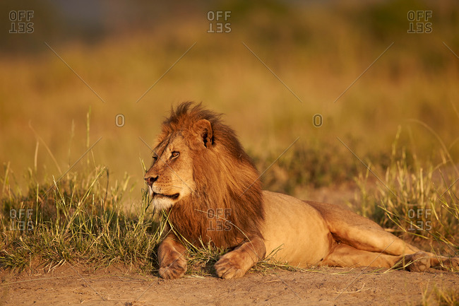 Lion (Panthera leo), Serengeti National Park, Tanzania