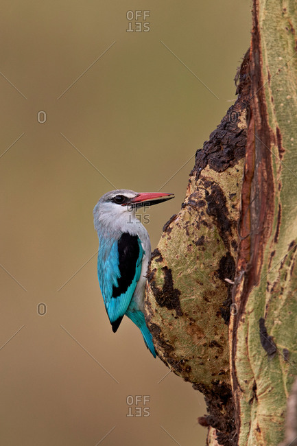 Woodland Kingfisher (Halcyon senegalensis), Serengeti National Park, Tanzania