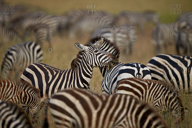 Common Zebra or Plains Zebra or Burchell's Zebra (Equus burchelli) herd, Serengeti National Park, Tanzania